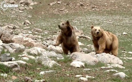A group of bears was released earlier this year. Photo: Rudaw video