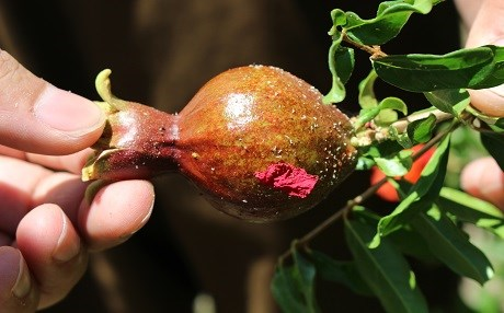 An insect, called shoka by farmers, attacks the leaves, flowers, and fruit of the pomegranate. Photos: Hannah Lynch/Rudaw
