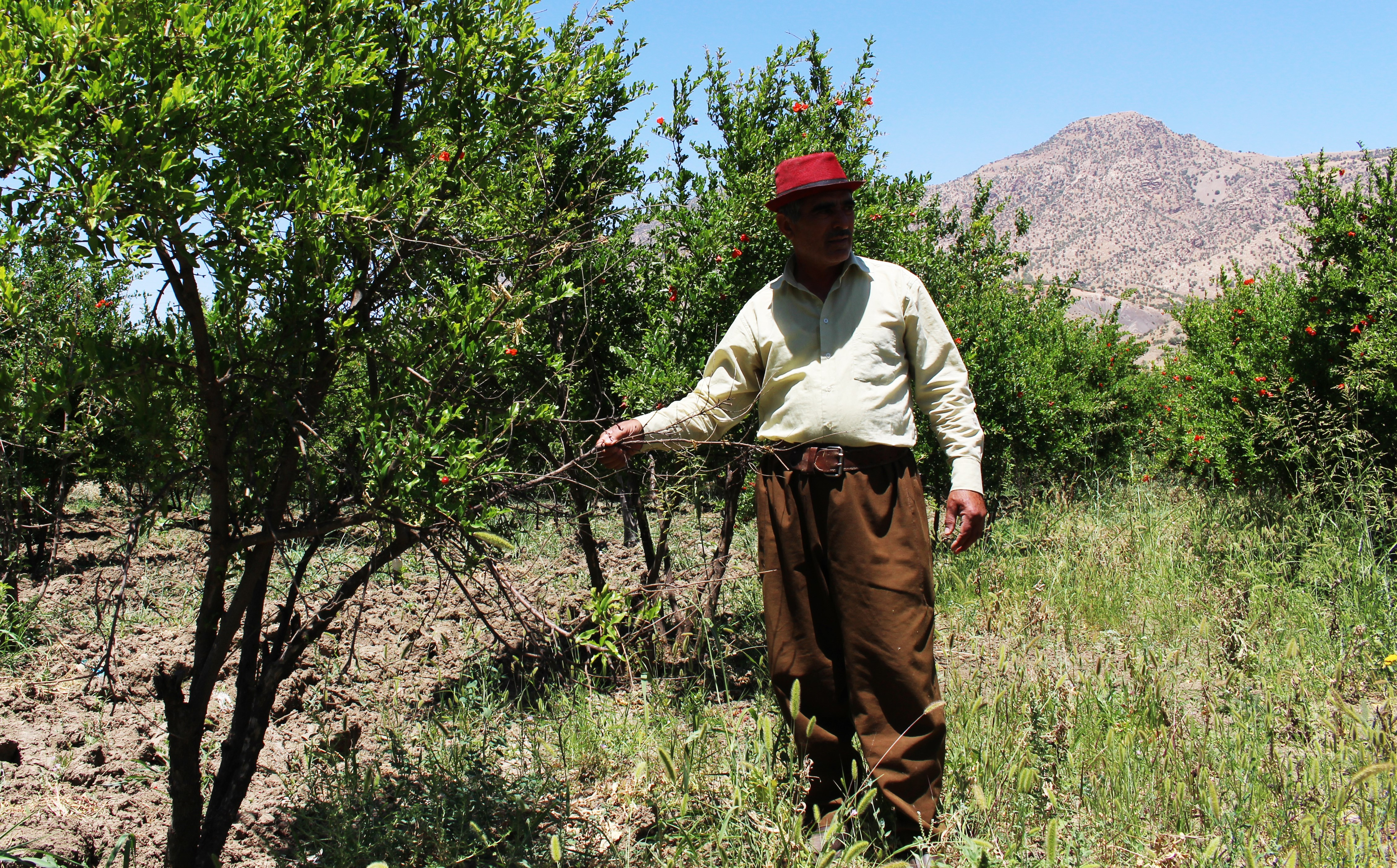 A farmer stands in his pomegranate orchard in Smaquli valley, outside of Erbil. Photo: Hannah Lynch/Rudaw
