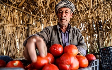 A farmer outside of Erbil prepares tomatoes to sell at the market. Photo: Mohammed Shwani/Rudaw
